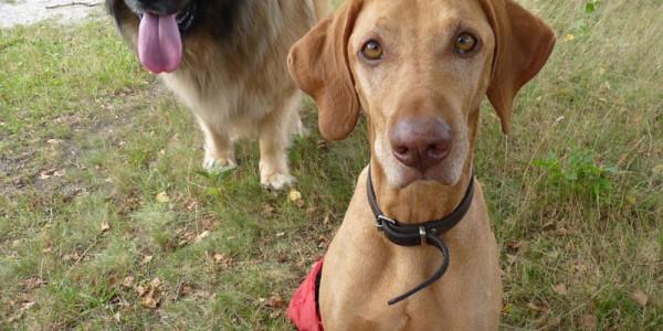 andors-hondenuitlaatservice-honden-uitlaten-in-hilversum-1-600x300